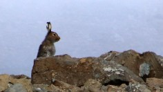 Another hare