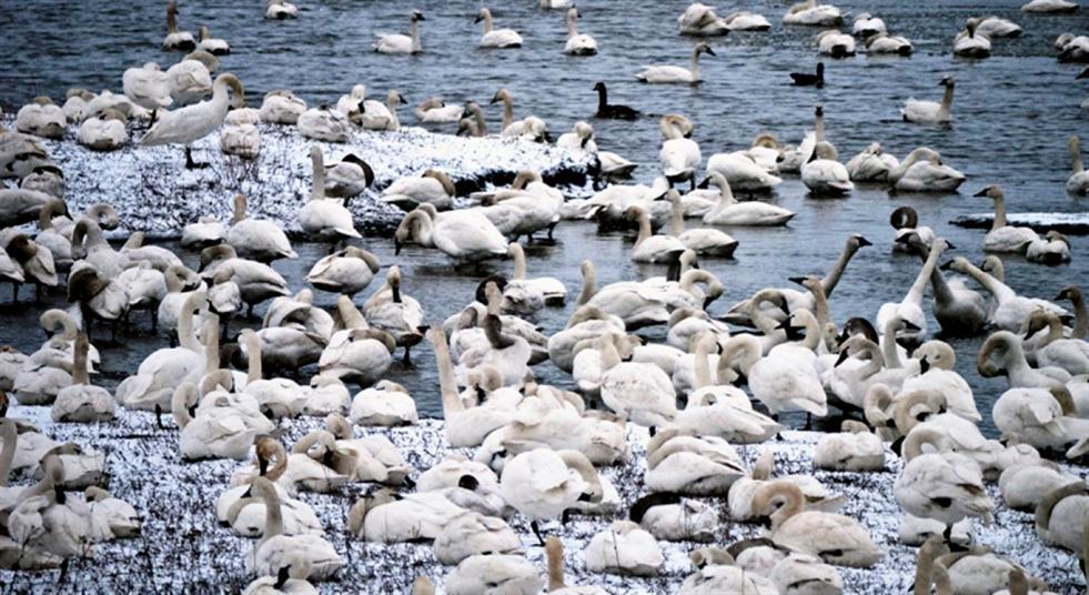 The 2013 Annual Tundra Swan Trip