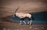 Oryx = Přímorožec