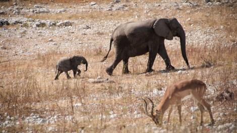 Malej, velkej a antilopa