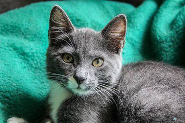 Meet Renfro: neutered, tested and vaccinated, and looking for a home.  The cat and many others will be at Petsmart in Palm Coast Saturday from 10 - 3 as part of an adoption event. See more details below. (Community Cats of Palm Coast)