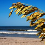 Sea oats are important to the ecology of barrier islands because they're resistant to saline air and root deep into sand, stabilizing dunes. Sea oats are a protected grass under Florida law.