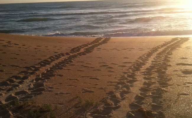 They're back: Sea turtle tracks in Beverly Beach on April 24. (© Frank Gromling)