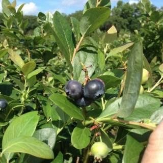 blueberries_500