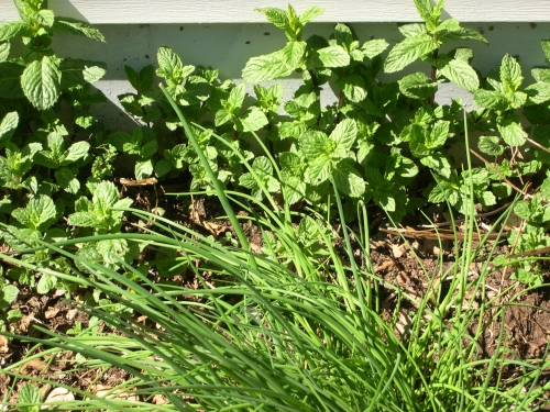 mint-and-chives