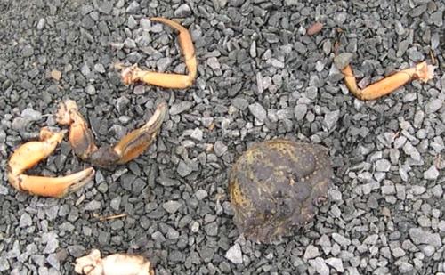 green crab1