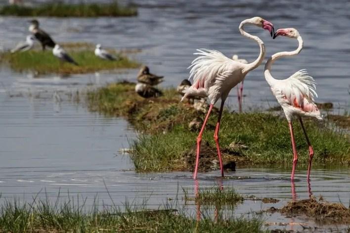 Flamingos in Lake Nakuru, one of the Top Kenya Wildlife Parks.