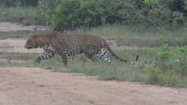 Leopard on the run