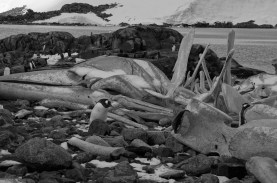 Gentoo Penguin & Whale Bones