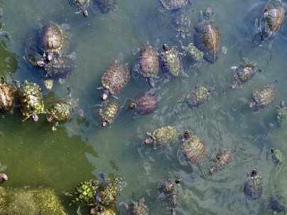 Turtles in liberation pond
