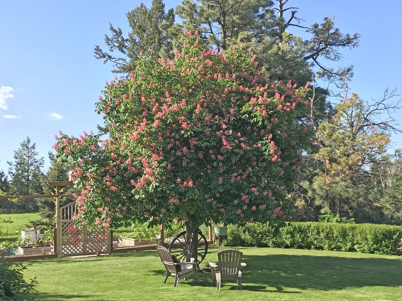 Backyard Shade Tree in Bloom