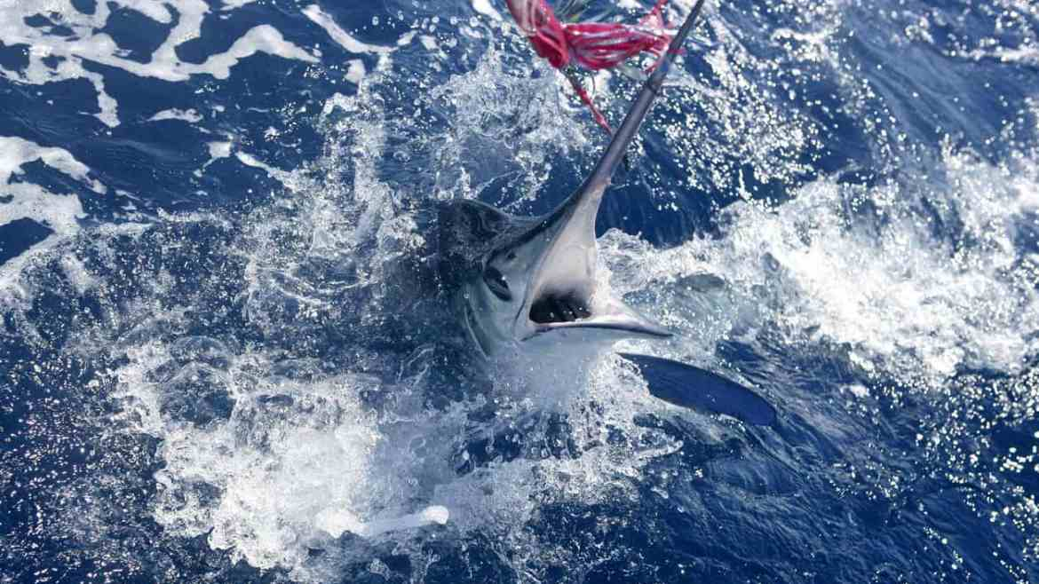 Fisherman criticized for 1400 pound marlin catch