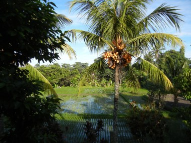 Rice Field Flanked by Palm Trees