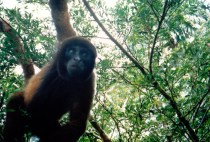 Howler Monkey in the Pantanal