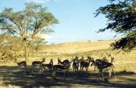 Kalahari Springbok 2