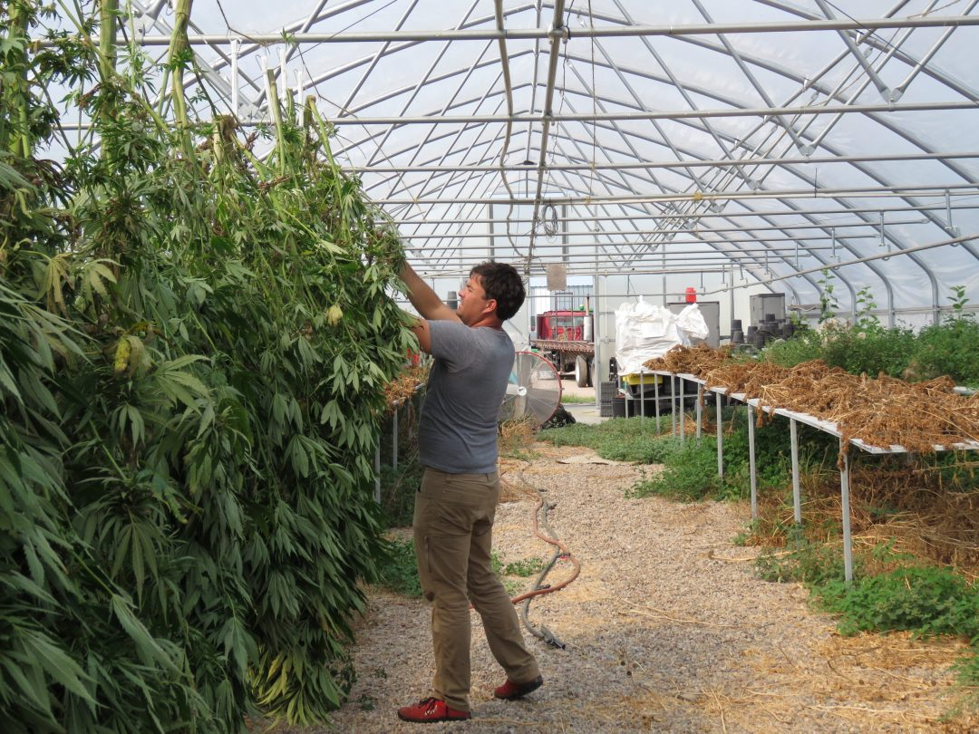 Alex Schwarz hangs hemp plants to dry in a greenhouse on his family's farm near Smithfield in Gosper County on Sept. 9, the last of two 2021 harvest days. Plants harvested in mid-July dry on tables, back right, and white bags hold the 2020 hemp crop, which remains unsold. (Photo by Lori Potter, Flatwater Free Press)