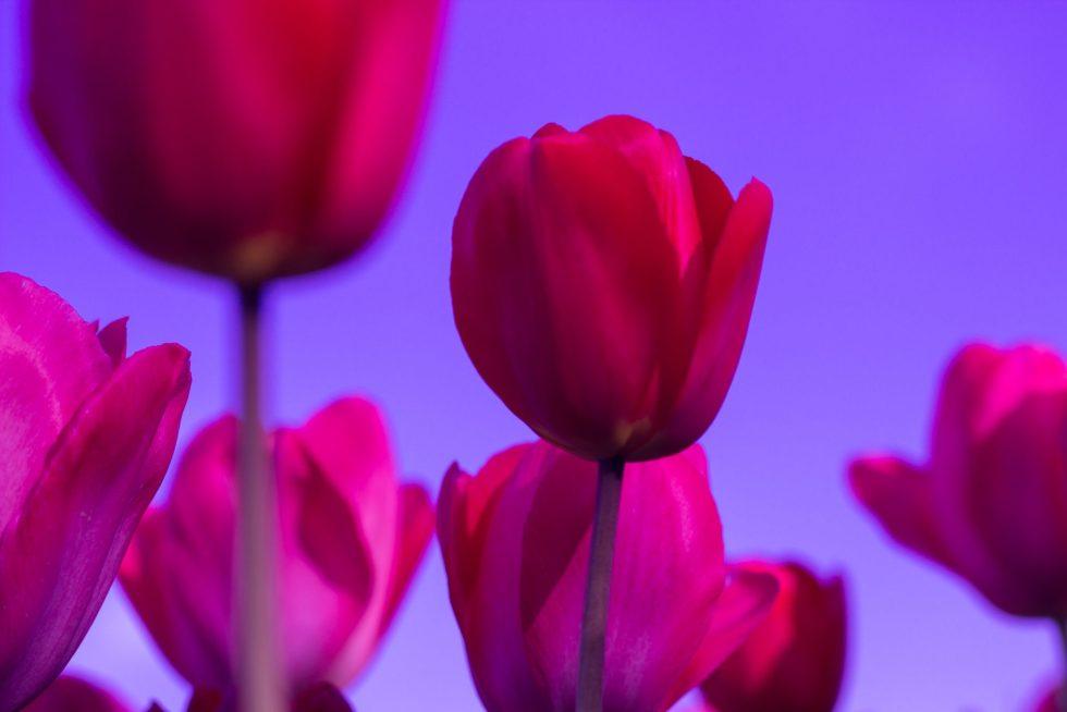 Rome's Tulip Park has over 90 varieties