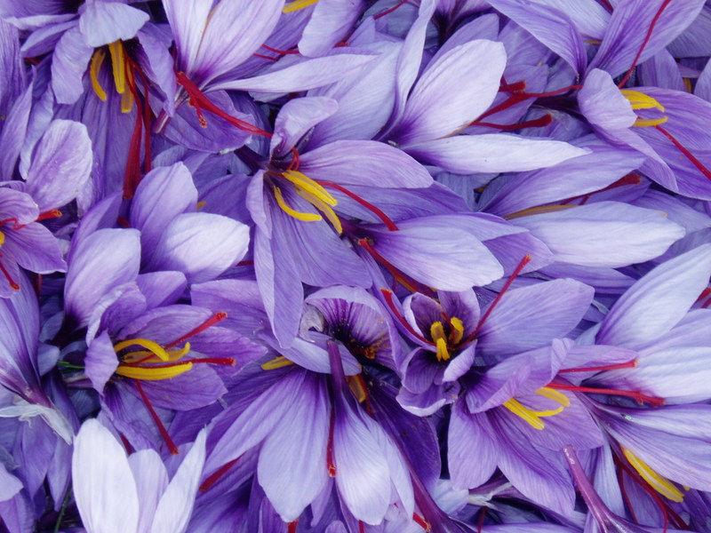 Crocus flowers Città della Pieve