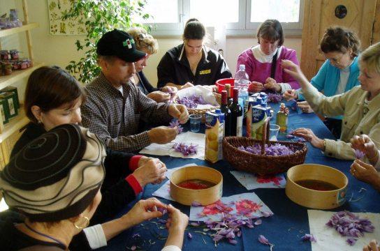 Removing pistils from crocus flowers to prepare saffron