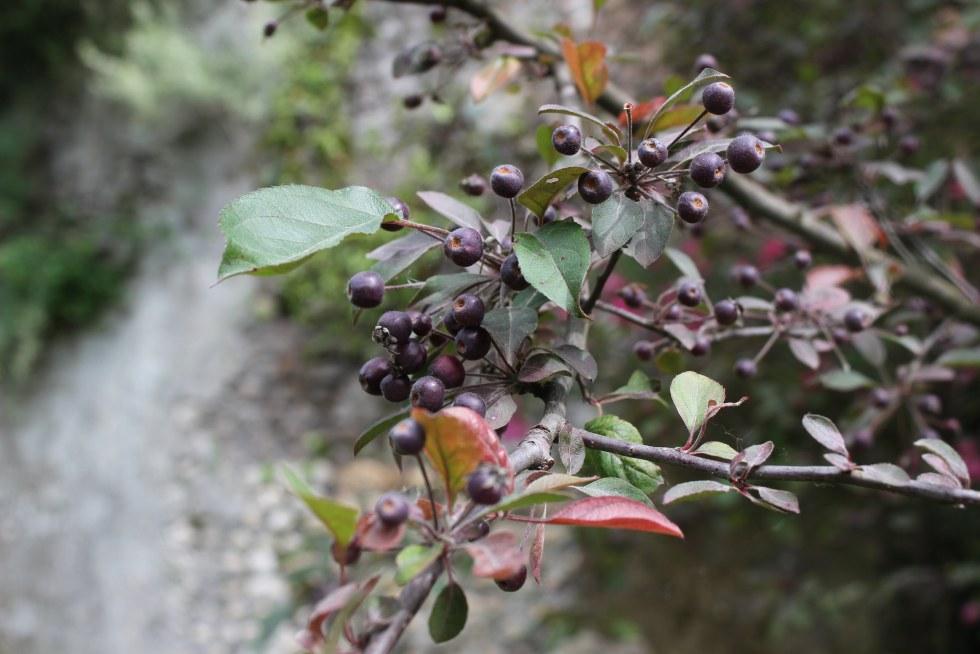 Berries in the Ninfa Gardens
