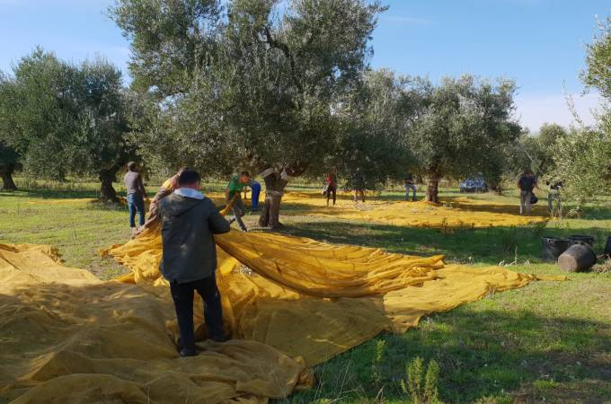 Olives are handpicked and the net gathers the olives that fall from the tree during picking