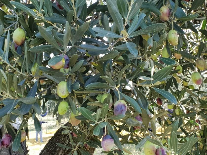 Olive tree at Erredi Perrone