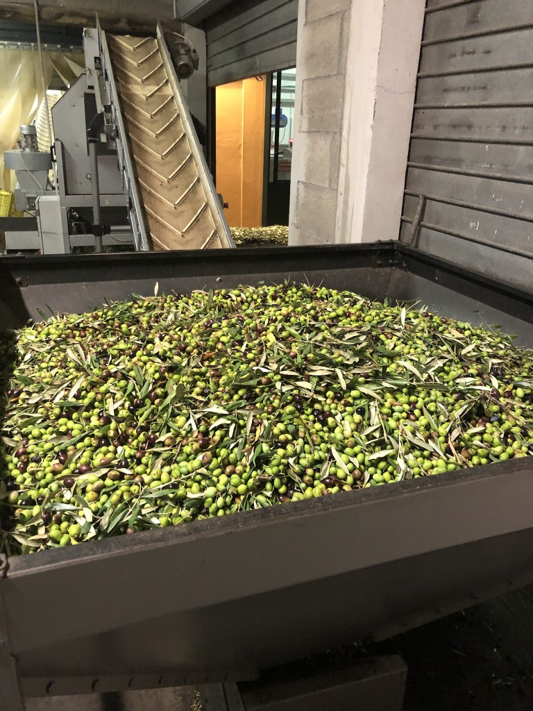 Olives head up a conveyer belt to remove leaves and debris before pressing