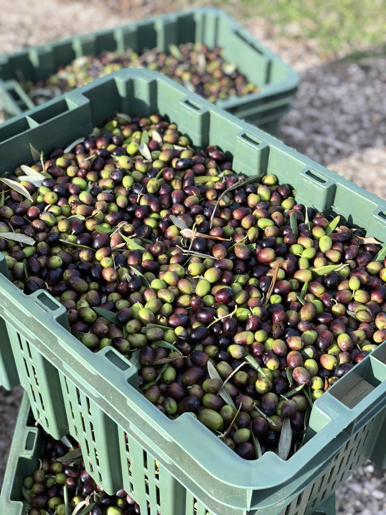 During the Italian olive harvest olives are loaded into crates and taken to the press