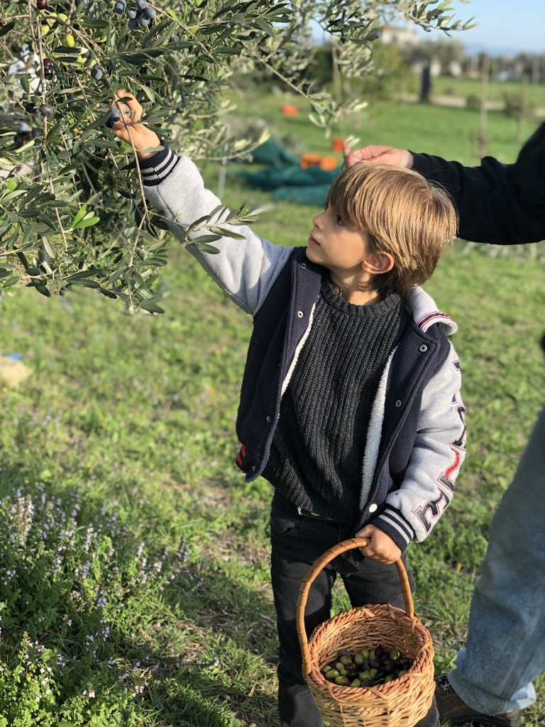 This five year old learns from the elders who have been picking olives for decades
