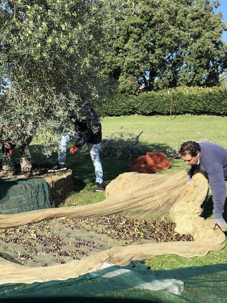 Olives that have fallen on the nets are gathered up and added to the crates