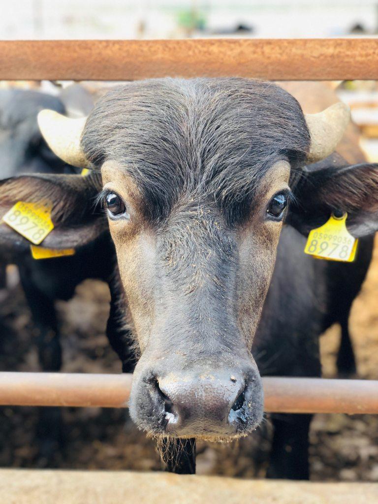 Italian water buffalo are emotionally sensitive and need to be treated with care to maximize their milk yield