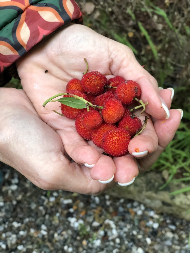 Fruit from the Corbezzolo Tree, that inspired Letitia's book title, Bitter Honey