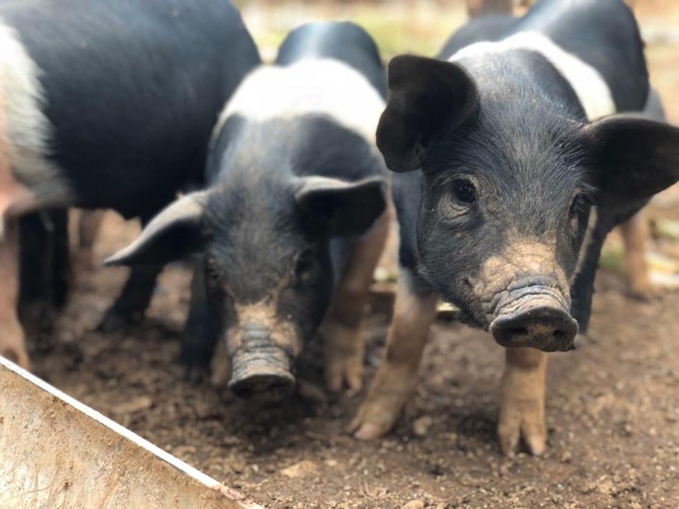 Cinta Senese pigs raised at Spannocchia  in Tuscany