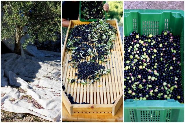 collage-olivenernte-3