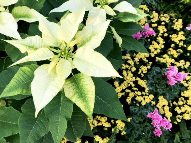 White poinsettas surrounded by small yellow and pink flowers at Longwood Gardens Conservatory