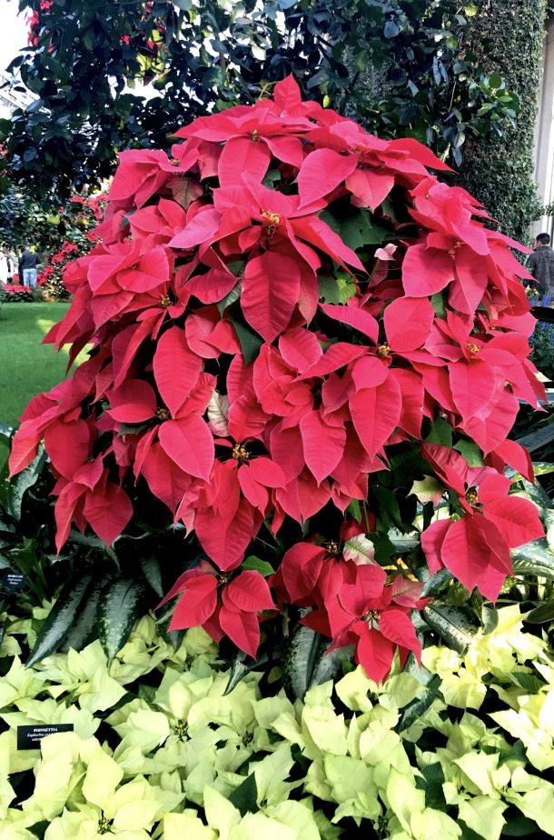 Lovely red poinsettas for Longwood Christmas at Longwood Gardens Conservatory