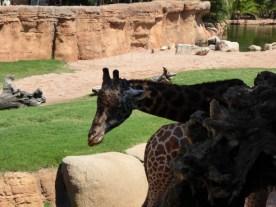 Biopark_Giraffe