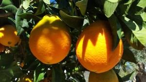oranges-1199773_1280