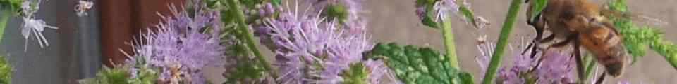 Erdbeerminze mit Wildbiene