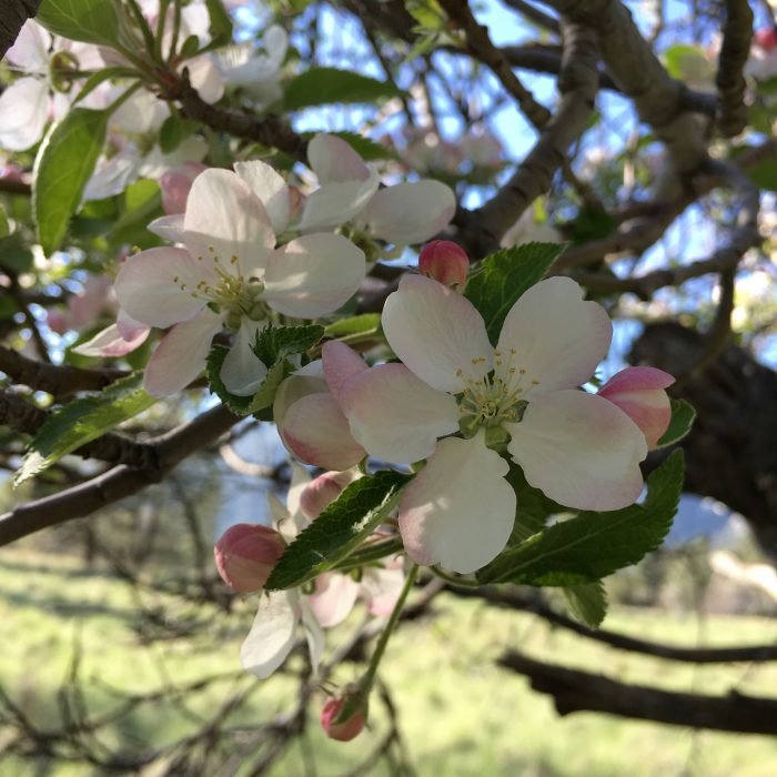 Apple Blossoms at Bonita Vista Farms Southern California