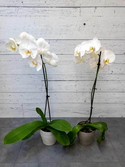Plante Orchidée Blanche - Fleuriste Coin Vert