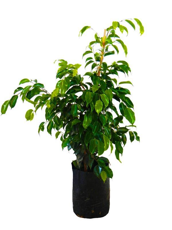 le ficus une plante d polluante apaisante et pleine d 39 l gance. Black Bedroom Furniture Sets. Home Design Ideas