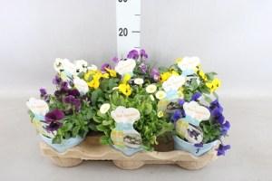 plante fleurie comestible