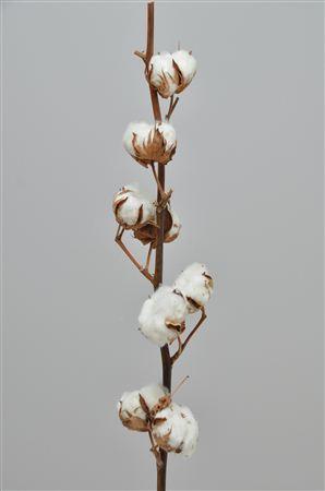 Coton en branches