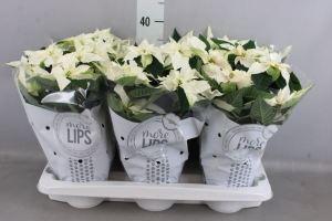 Euphorbia pulc. 'Princet. White'