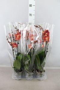 Phalaenopsis orange