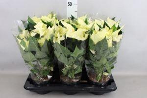 Euphorbia pulc. 'Premium Polar'