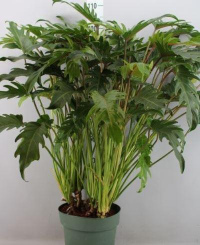Philodendron  'Xanadu'