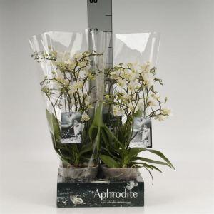 Phalaenopsis multi. 'FC Soft Cloud'