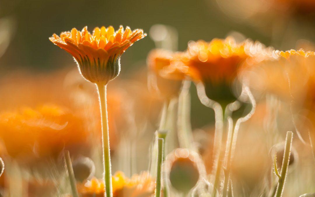 LE CALENDULA, un rayon de soleil doux pour réchauffer votre Hiver…